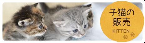 子猫の販売 KITTEN